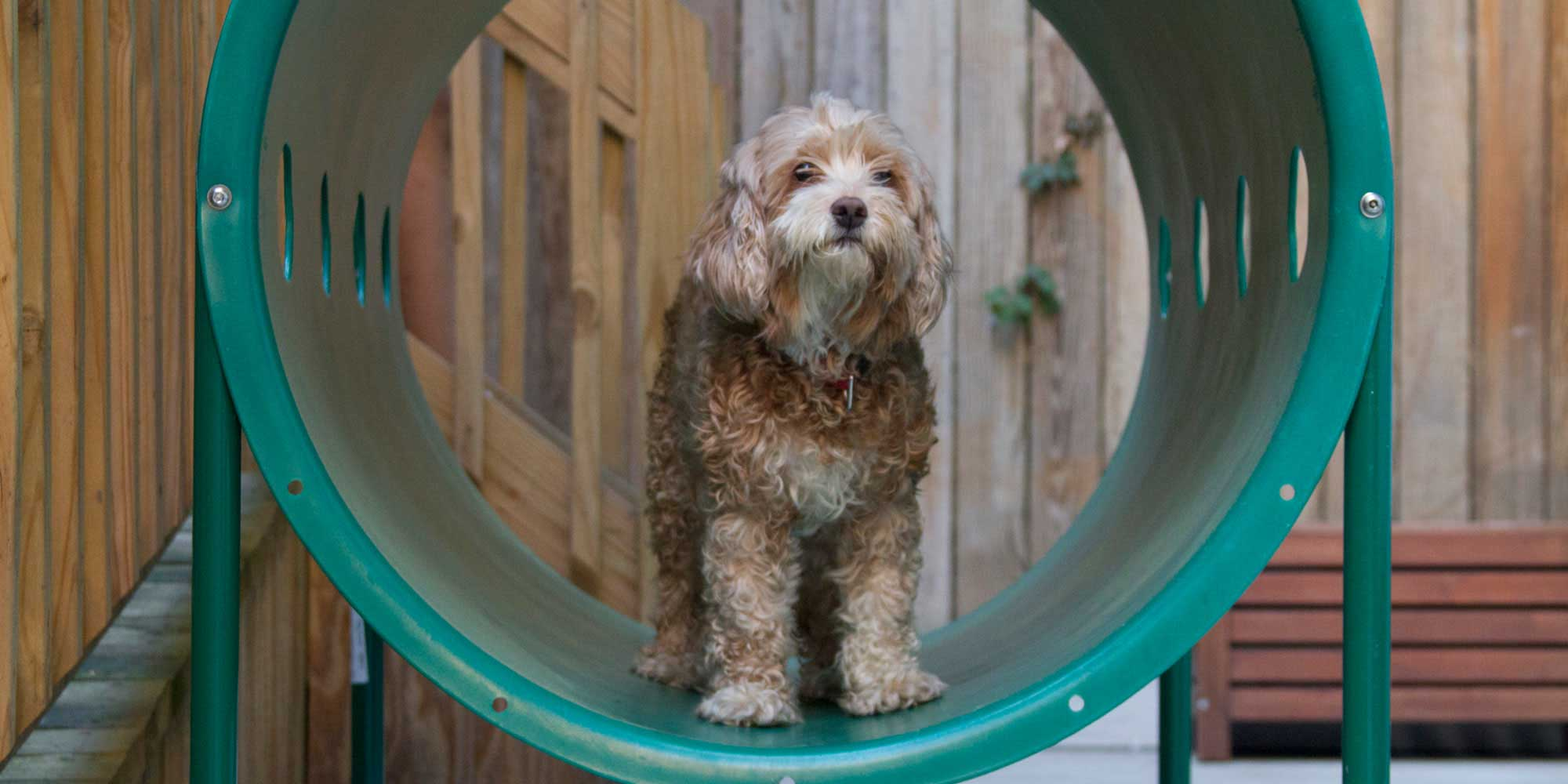 Dog Standing in a Play Tube at a PALS Pet Park