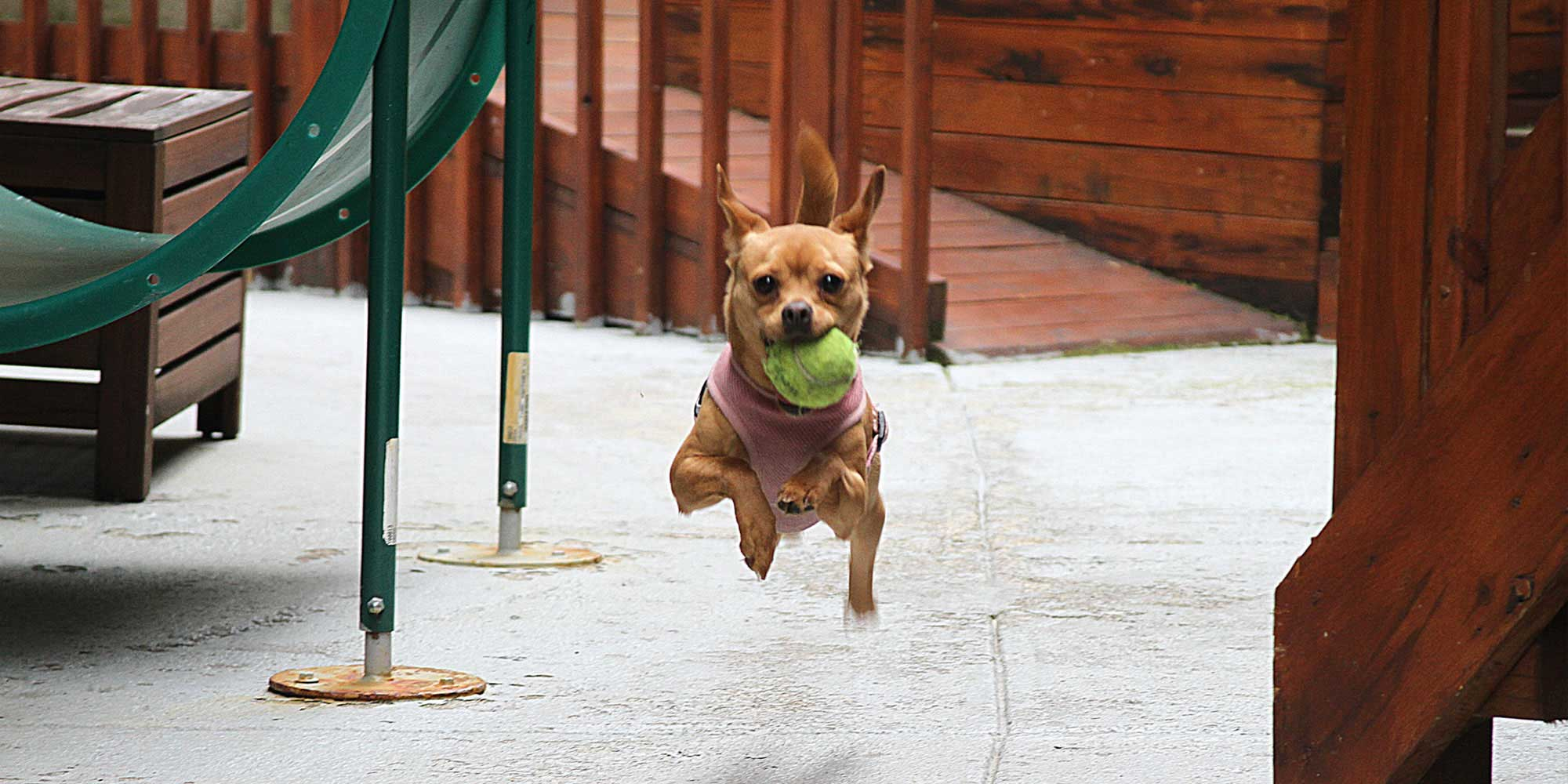 Dog Running Towards Camera with Ball